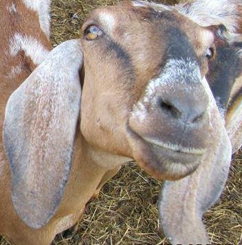 Goofy goat crop